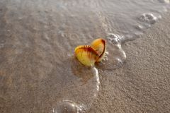 Color shot of sea shell on the golden sand of the beach royalty free stock images