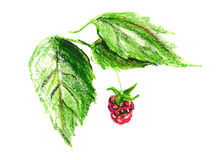 Color sketch raspberry Royalty Free Stock Images