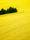 Color spring photography of rape fields. Color spring photo of blooming yellow rape plants and green trees Stock Photo