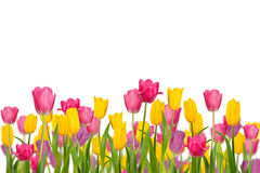 Color Spring tulips isolated on white background. Stock Photo