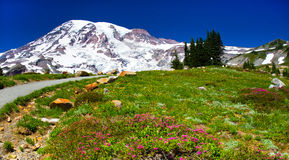 Color of summer, Mount Rainier, Washington Stock Photos
