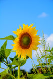 The color of the sun. Abandoned wild sunflower.flowers of the sun, for labels Royalty Free Stock Image