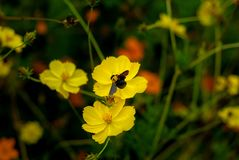 A bee is looking for food on yellow flowers - Yogyakarta, Indonesia stock images