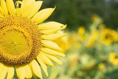 The Color of Sunflowers stock photo