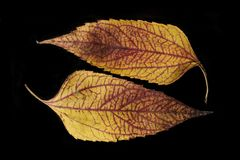 Color and texture of dry autumn leaves. Close-up Royalty Free Stock Photos