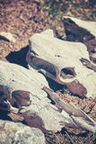 Color toned picture of animal skulls, selective focus Stock Photo