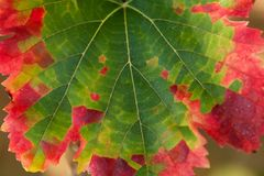 Color transformation of a leaf, green to red Royalty Free Stock Photo