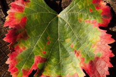 Color transformation of a leaf, green to red Royalty Free Stock Image