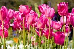 Color tulips. Vivid and colorful spring tulips in the garden Royalty Free Stock Photos