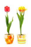 Color tulips in ceramic pots. Red and yellow stock photography