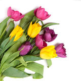 Color tulips isolated on white. Color tulips isolated on the white Royalty Free Stock Photos