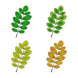 Color variations vector illustration of the acacia sheet Stock Photos