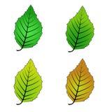 Color variations vector illustration leaf alder. Simple color variations vector illustration leaf alder vector illustration