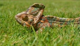 Color verde de la naturaleza de la toma del camuflaje del camaleón Imágenes de archivo libres de regalías