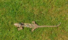 Color verde de la naturaleza de la toma del camuflaje del camaleón Fotos de archivo