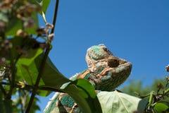 Color verde de la naturaleza de la toma del camuflaje del camaleón Foto de archivo libre de regalías