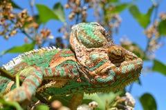 Color verde de la naturaleza de la toma del camuflaje del camaleón Imagenes de archivo