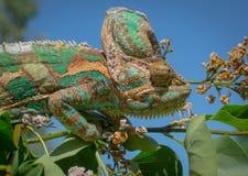 Color verde de la naturaleza de la toma del camuflaje del camaleón Fotos de archivo libres de regalías