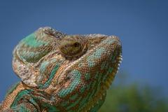 Color verde de la naturaleza de la toma del camuflaje del camaleón Imagen de archivo libre de regalías