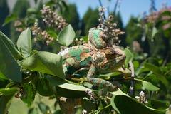 Color verde de la naturaleza de la toma del camuflaje del camaleón Imagen de archivo
