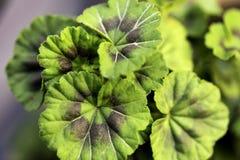 Color verde de las hojas asiaticas de Centella fotografía de archivo