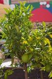 Color& vert x27 ; élevage de fruits orange de s sur l'arbre Photo stock