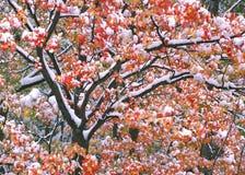 Color y nieve del árbol de arce de Nueva Inglaterra Imagenes de archivo