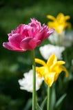 color yellow för tulpan för den röda fjädern för blommafuschiaen stor Royaltyfria Bilder