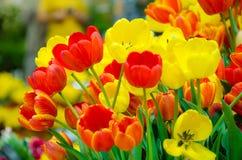 color yellow för tulpan för den röda fjädern för blommafuschiaen stor Arkivbilder