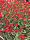 color yellow för tulpan för den röda fjädern för blommafuschiaen stor Royaltyfri Foto