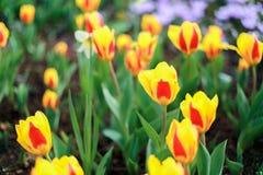 color yellow för tulpan för den röda fjädern för blommafuschiaen stor Arkivfoton