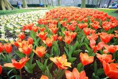 color yellow för tulpan för den röda fjädern för blommafuschiaen stor Arkivbild