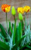 color yellow för tulpan för den röda fjädern för blommafuschiaen stor Royaltyfri Fotografi