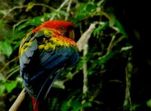 Coloração bonita de um escarlate da arara em uma pose impressionante em um ramo imagem de stock