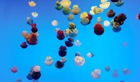 Colora il grasso di balena delle meduse Fotografie Stock