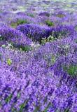 Colora o campo da alfazema Fotos de Stock Royalty Free