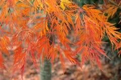 Coloración del otoño de un arce japonés cortado japonés del arce con las hojas rojas amarillas anaranjadas en el jardín ornamenta fotografía de archivo libre de regalías