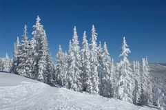 Colorado. Pine trees with snow  in Steamboat Springs, Colorado, Usa Stock Photos