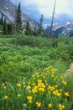 Colorado Alpine Meadow in yellow & blue. High alpine meadow of mule ear and wild flowers in summer in the Rocky Mountains of Colorado stock image