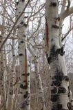 Colorado Ash Trees Royaltyfria Bilder