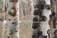 Colorado Ash Trees Royaltyfria Foton