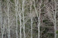 Colorado Ash Trees Fotos de archivo