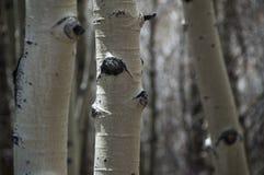 Colorado Ash Trees Royaltyfri Foto