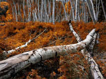 Colorado Aspen - último otoño foto de archivo