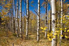 Colorado Aspen. Leaves in the fall royalty free stock photography