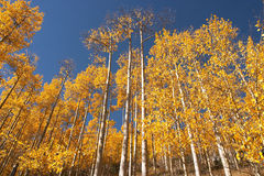 Colorado Aspen. Leaves in the fall stock photography