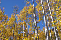 Colorado Aspen. Trees in the fall Royalty Free Stock Images