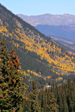 Colorado Aspen. Trees in the fall Royalty Free Stock Photos