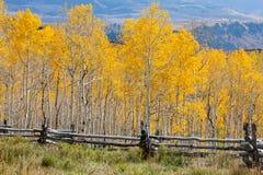 Colorado Aspen Royalty Free Stock Photography