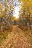 Colorado Aspen royalty free stock image